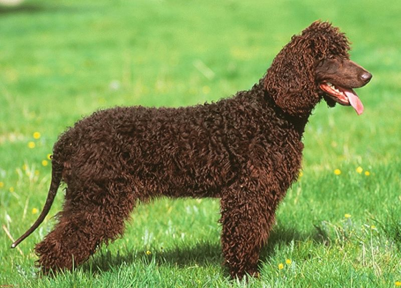 irish water spaniel002